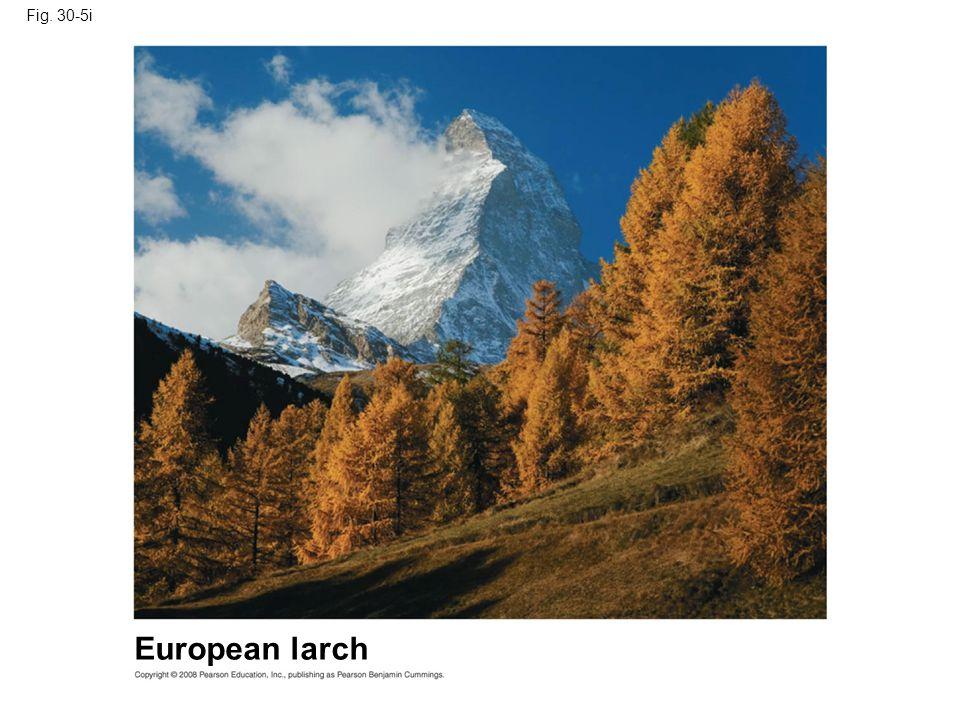 Fig. 30-5i European larch