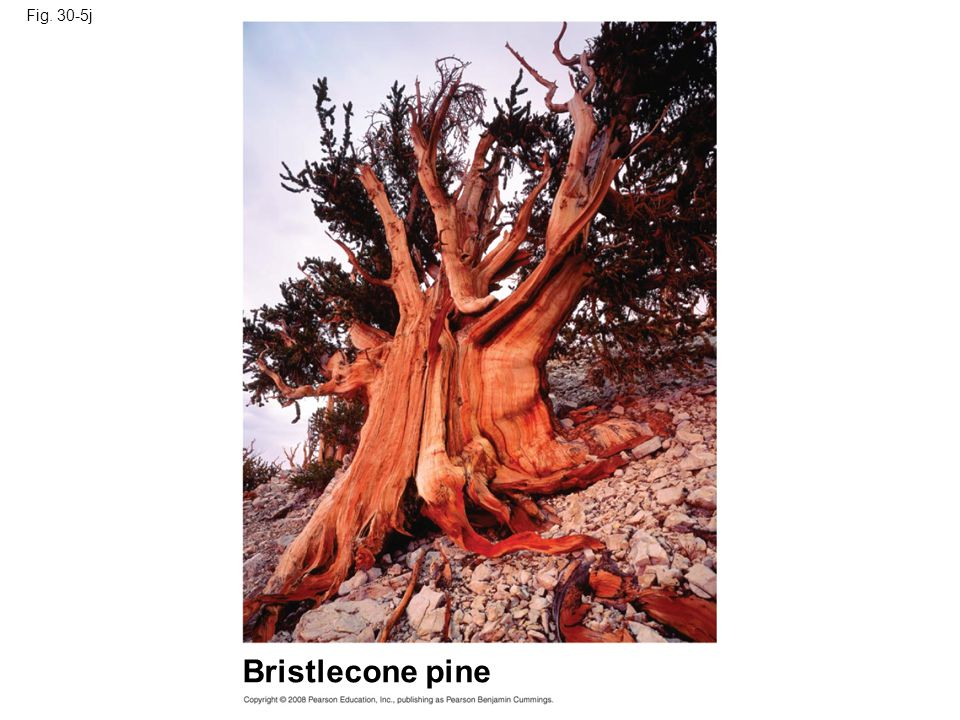 Fig. 30-5j Bristlecone pine