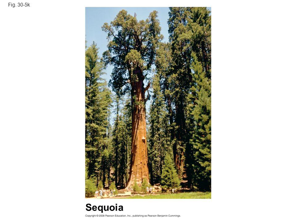 Fig. 30-5k Sequoia