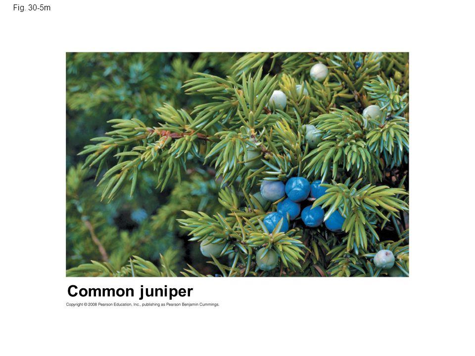 Fig. 30-5m Common juniper