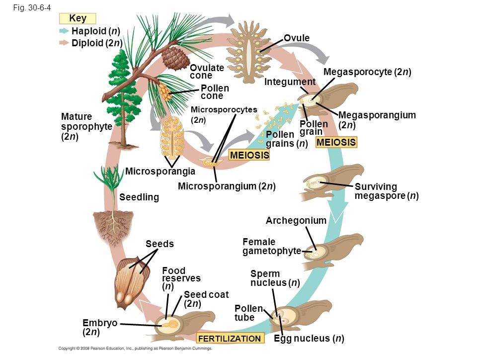 Fig. 30-6-4 Microsporangium (2n) Microsporocytes (2n) Pollen grains (n) Pollen cone Microsporangia MEIOSIS Mature sporophyte (2n) Haploid (n) Diploid