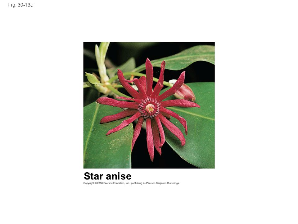 Fig. 30-13c Star anise