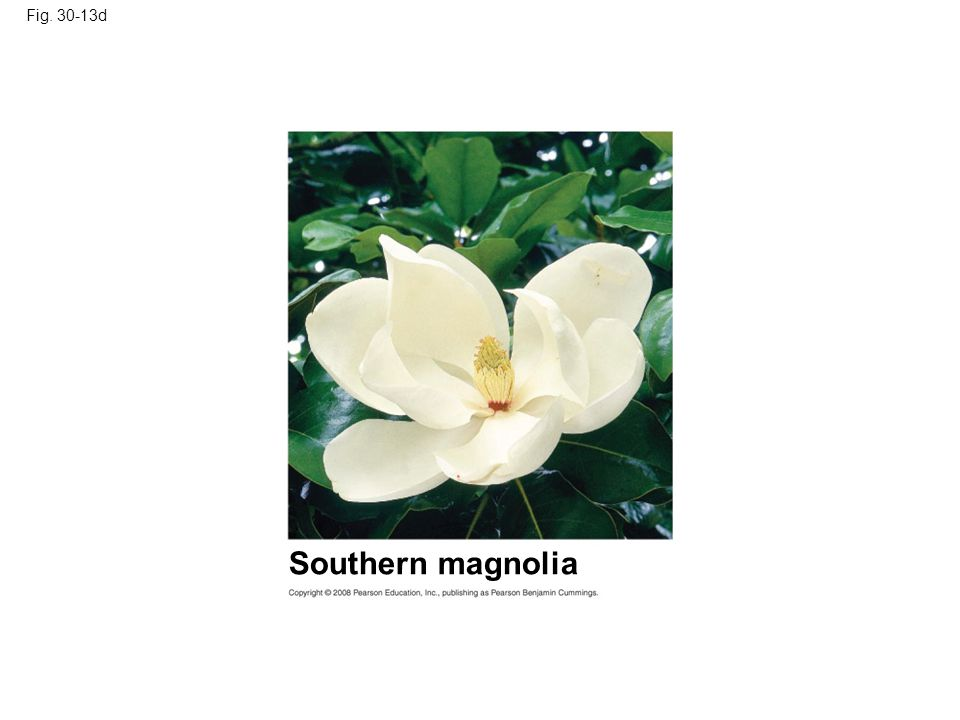 Fig. 30-13d Southern magnolia