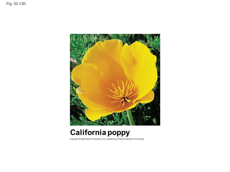 Fig. 30-13h California poppy