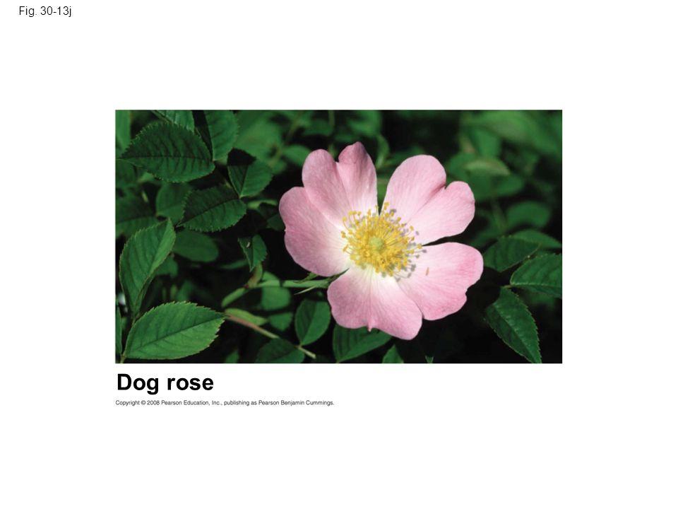 Fig. 30-13j Dog rose