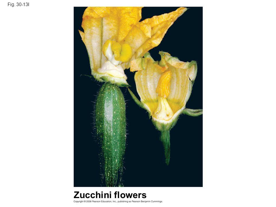 Fig. 30-13l Zucchini flowers