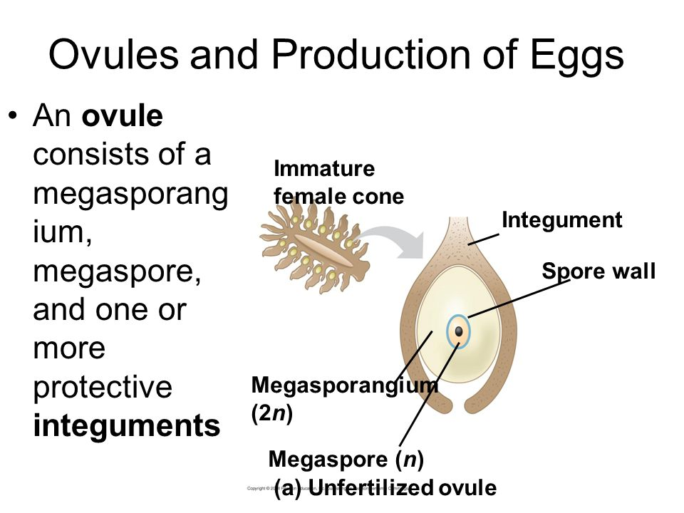 Ovules and Production of Eggs An ovule consists of a megasporang ium, megaspore, and one or more protective integuments Megasporangium (2n) Megaspore