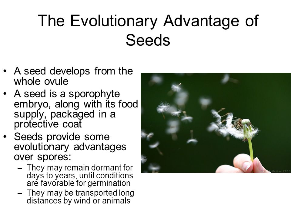 The Evolutionary Advantage of Seeds A seed develops from the whole ovule A seed is a sporophyte embryo, along with its food supply, packaged in a prot