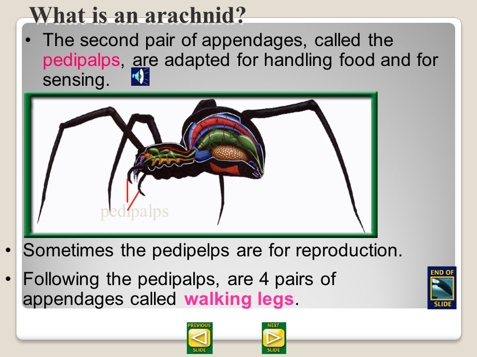 Section 28.2 Summary – pages 747 - 755 Spiders have no mandibles for chewing. Using a process of extracellular digestion, digestive enzymes from the s