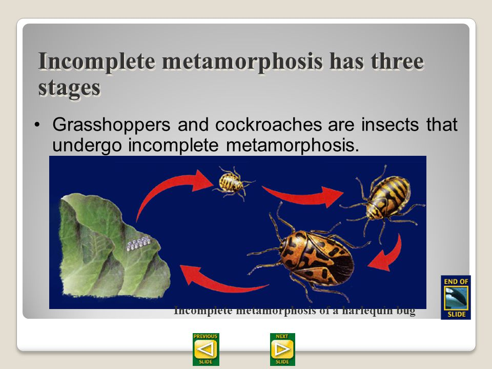 Section 28.2 Summary – pages 747 - 755 Incomplete metamorphosis has three stages Nymphs cannot reproduce. As the nymph eats and grows, it molts severa