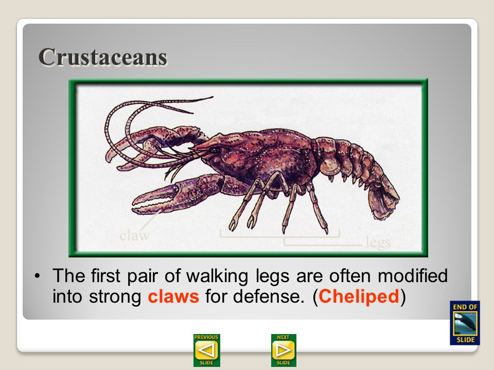 Section 28.2 Summary – pages 747 - 755 Crustaceans (krus TAY shuns) this type have two pairs of antennae for sensing. 5 pairs of legs Anterior pair of