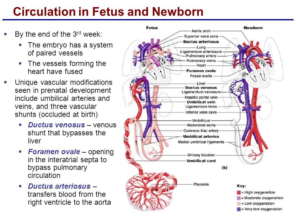 Circulation in Fetus and Newborn  By the end of the 3 rd week:  The embryo has a system of paired vessels  The vessels forming the heart have fused