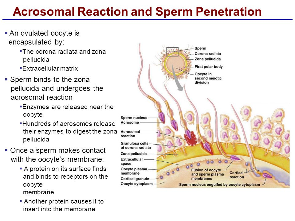 Acrosomal Reaction and Sperm Penetration  An ovulated oocyte is encapsulated by:  The corona radiata and zona pellucida  Extracellular matrix  Sperm binds to the zona pellucida and undergoes the acrosomal reaction  Enzymes are released near the oocyte  Hundreds of acrosomes release their enzymes to digest the zona pellucida  Once a sperm makes contact with the oocyte's membrane:  A protein on its surface finds and binds to receptors on the oocyte membrane  Another protein causes it to insert into the membrane