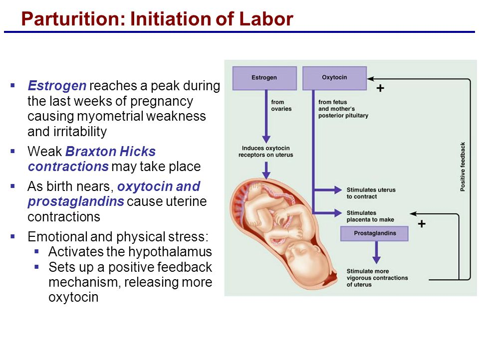 Parturition: Initiation of Labor  Estrogen reaches a peak during the last weeks of pregnancy causing myometrial weakness and irritability  Weak Braxton Hicks contractions may take place  As birth nears, oxytocin and prostaglandins cause uterine contractions  Emotional and physical stress:  Activates the hypothalamus  Sets up a positive feedback mechanism, releasing more oxytocin