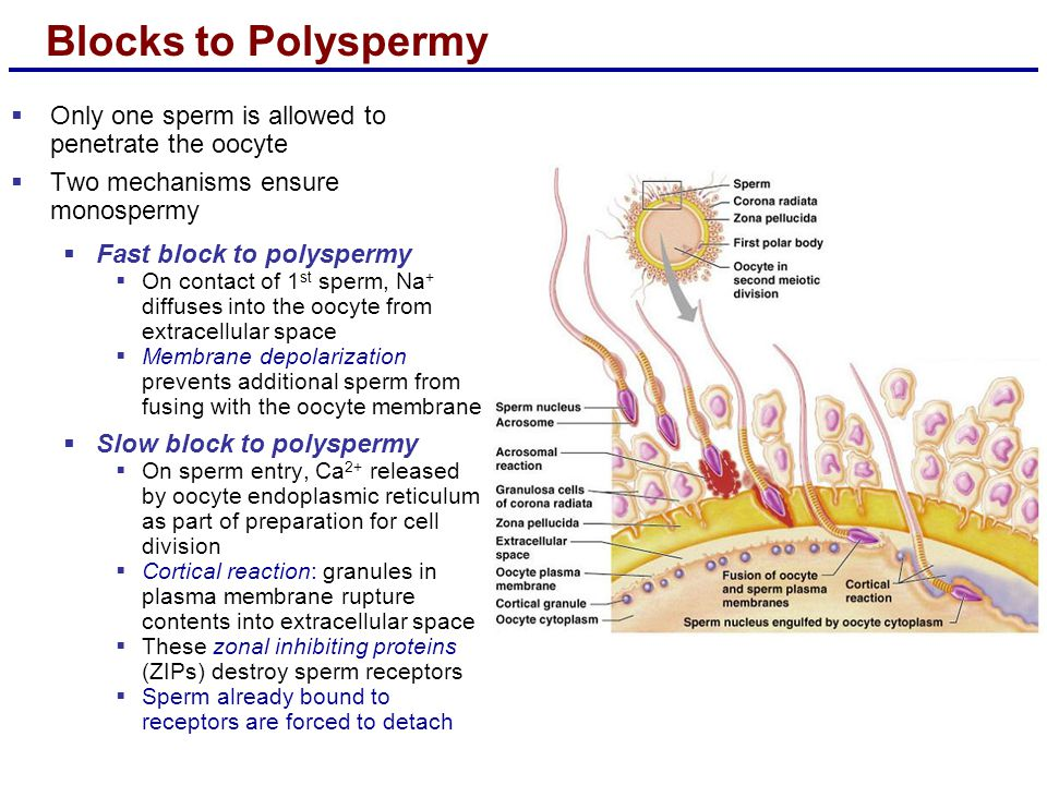 Blocks to Polyspermy  Only one sperm is allowed to penetrate the oocyte  Two mechanisms ensure monospermy  Fast block to polyspermy  On contact of 1 st sperm, Na + diffuses into the oocyte from extracellular space  Membrane depolarization prevents additional sperm from fusing with the oocyte membrane  Slow block to polyspermy  On sperm entry, Ca 2+ released by oocyte endoplasmic reticulum as part of preparation for cell division  Cortical reaction: granules in plasma membrane rupture contents into extracellular space  These zonal inhibiting proteins (ZIPs) destroy sperm receptors  Sperm already bound to receptors are forced to detach