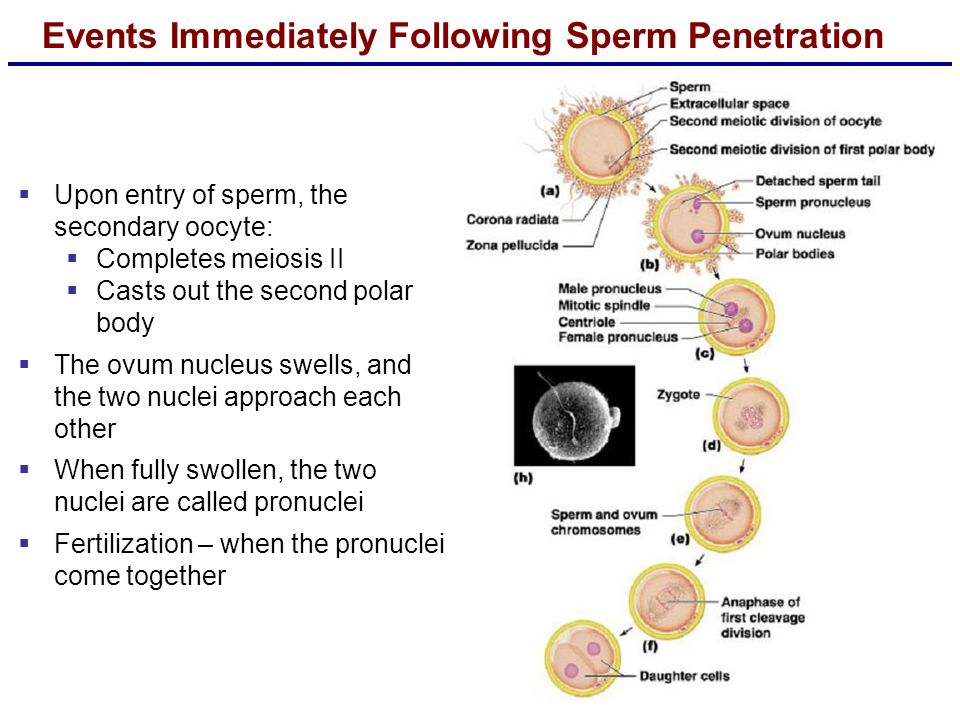 Events Immediately Following Sperm Penetration  Upon entry of sperm, the secondary oocyte:  Completes meiosis II  Casts out the second polar body  The ovum nucleus swells, and the two nuclei approach each other  When fully swollen, the two nuclei are called pronuclei  Fertilization – when the pronuclei come together
