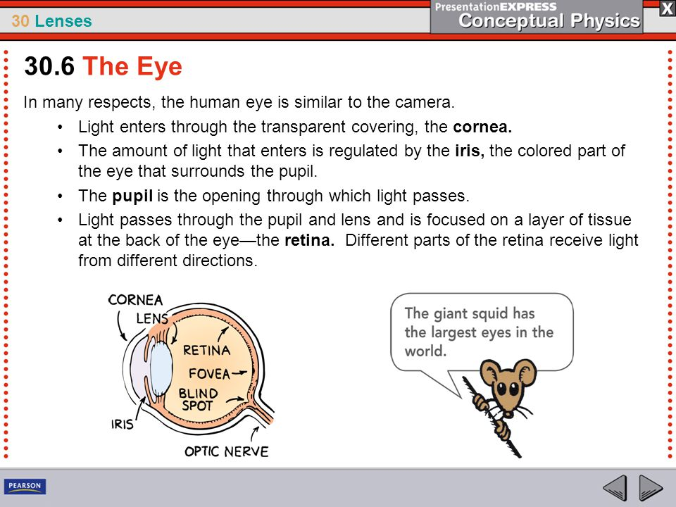 30 Lenses In many respects, the human eye is similar to the camera. Light enters through the transparent covering, the cornea. The amount of light tha