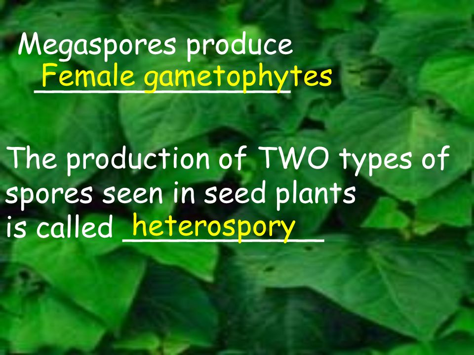 Megaspores produce ______________ Female gametophytes The production of TWO types of spores seen in seed plants is called ___________ heterospory