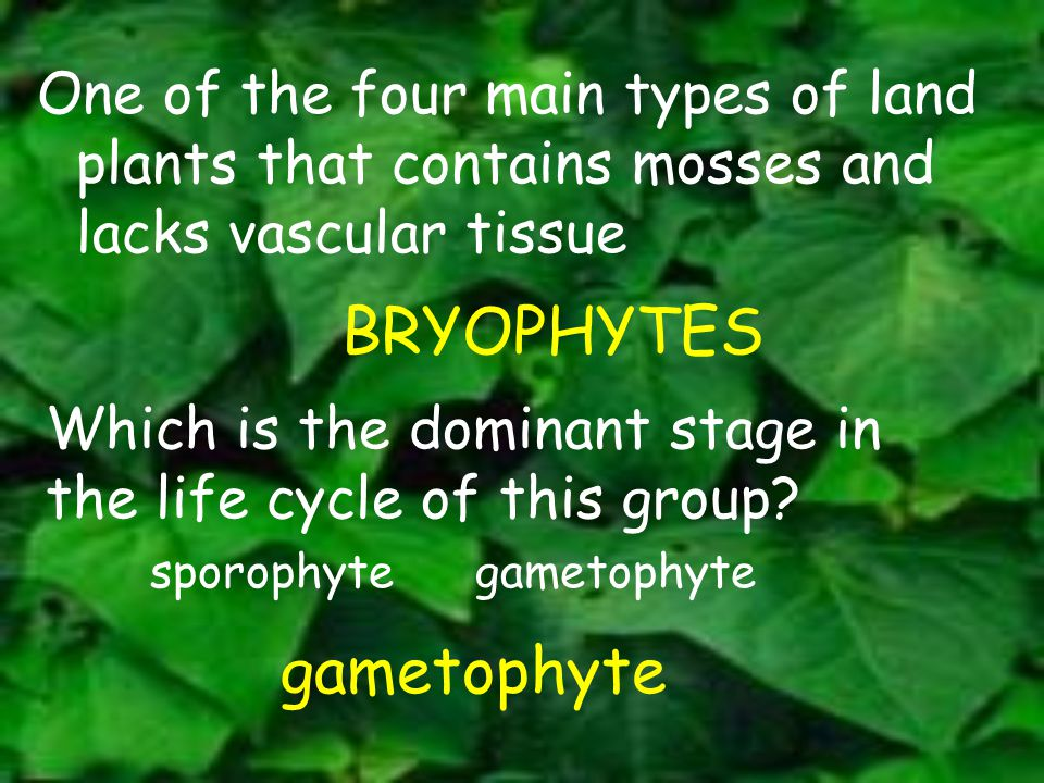 One of the four main types of land plants that contains mosses and lacks vascular tissue BRYOPHYTES Which is the dominant stage in the life cycle of t