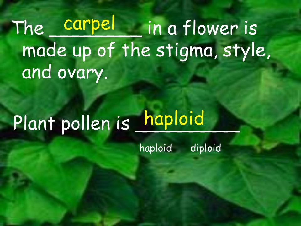 The ________ in a flower is made up of the stigma, style, and ovary. carpel Plant pollen is _________ haploid diploid haploid
