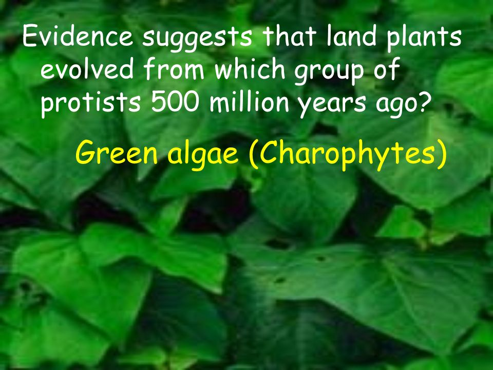 Evidence suggests that land plants evolved from which group of protists 500 million years ago? Green algae (Charophytes)