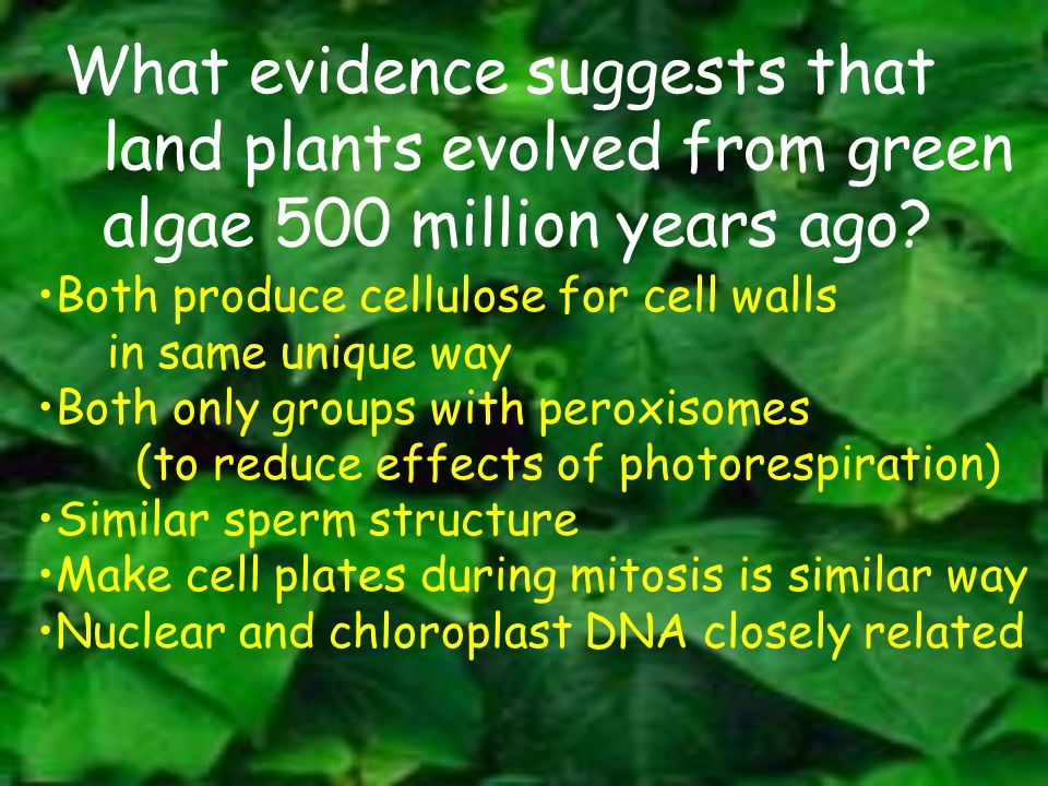 What evidence suggests that land plants evolved from green algae 500 million years ago? Both produce cellulose for cell walls in same unique way Both
