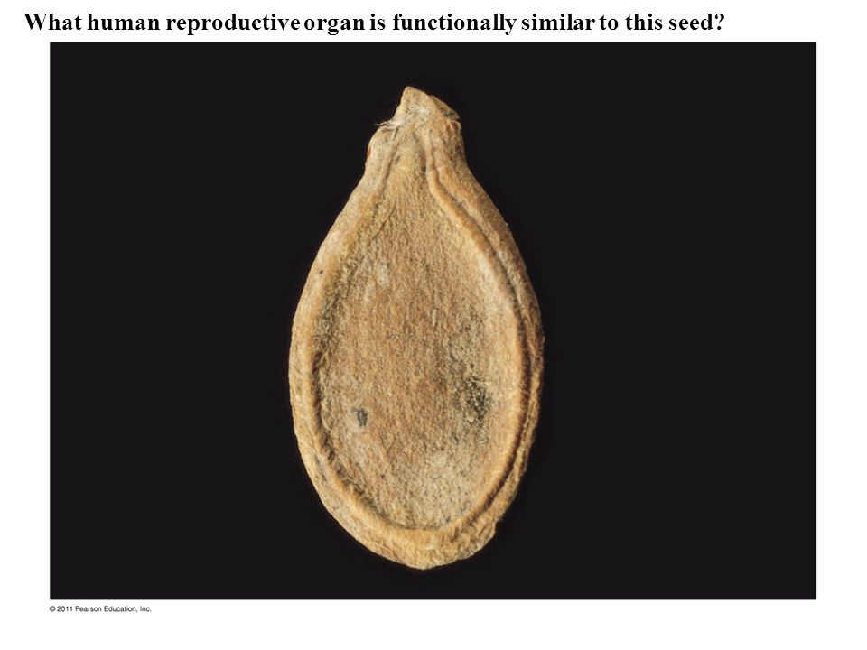 Figure 30.5a Cycas revoluta Phylum Cycadophyta