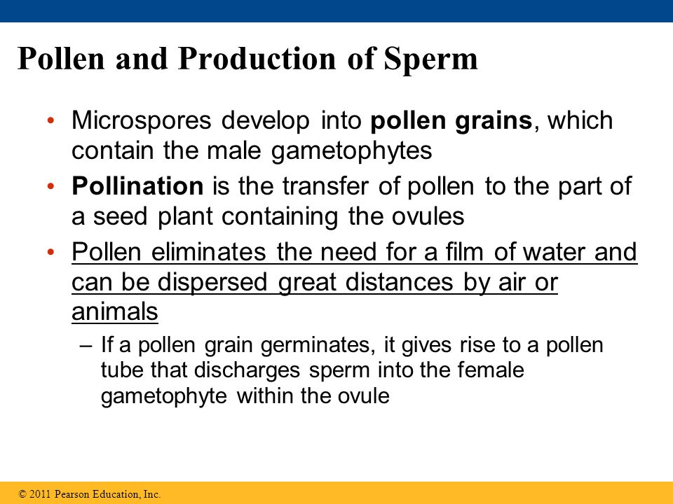 Pollen and Production of Sperm Microspores develop into pollen grains, which contain the male gametophytes Pollination is the transfer of pollen to th