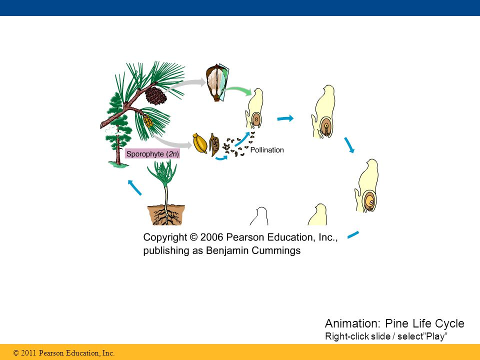 "© 2011 Pearson Education, Inc. Animation: Pine Life Cycle Right-click slide / select""Play"""