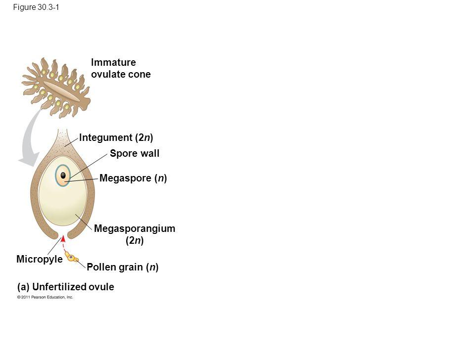 Key Haploid (n) Diploid (2n) Mature sporophyte (2n) Pollen cone Microsporocytes (2n) Microsporangia Microsporangium (2n) Pollen grains (n) MEIOSIS Life cycle of a pine