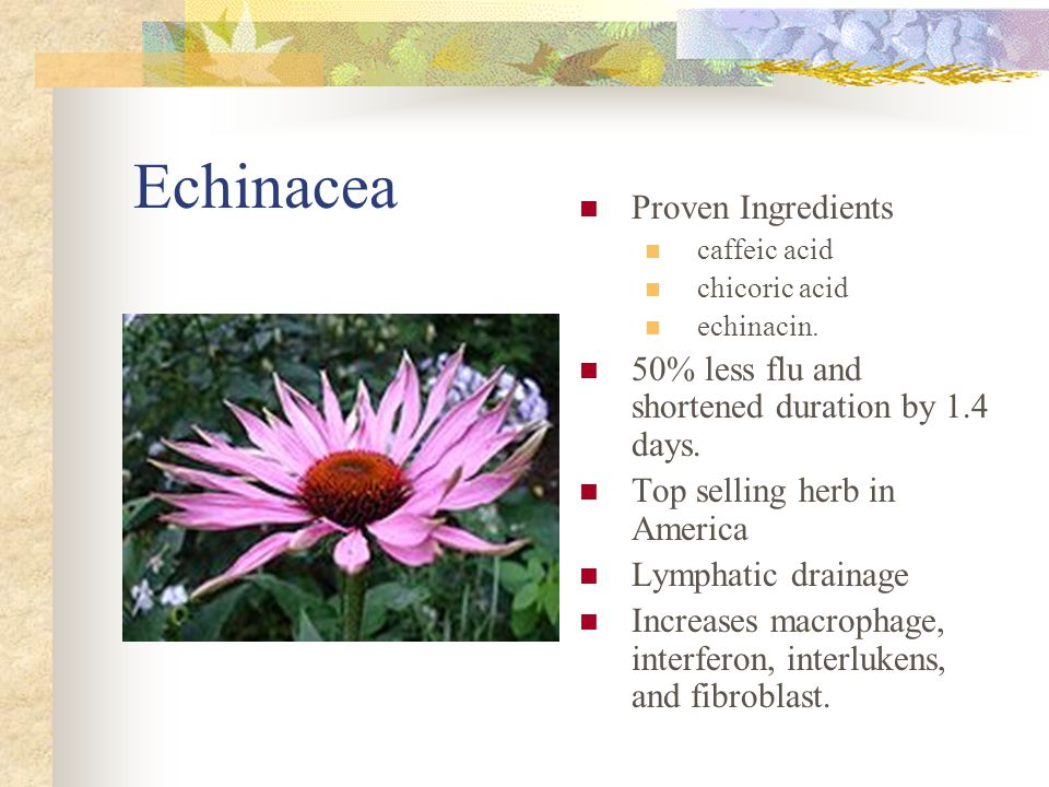 Echinacea Proven Ingredients caffeic acid chicoric acid echinacin. 50% less flu and shortened duration by 1.4 days. Top selling herb in America Lympha