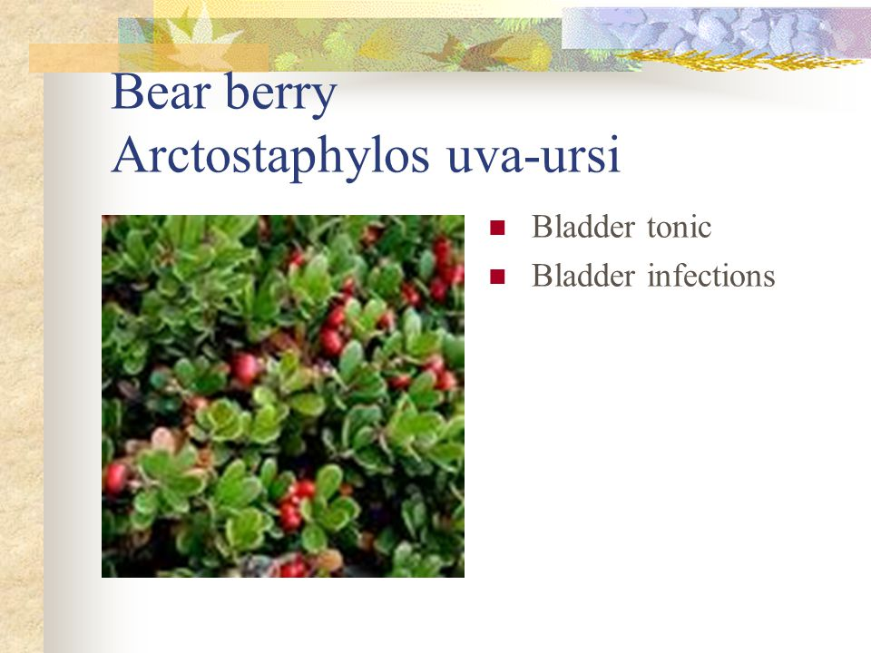 Bear berry Arctostaphylos uva-ursi Bladder tonic Bladder infections