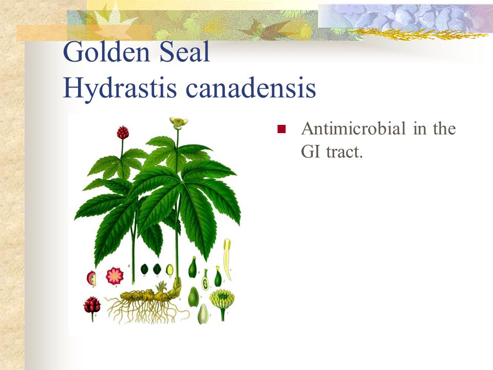 Golden Seal Hydrastis canadensis Antimicrobial in the GI tract.