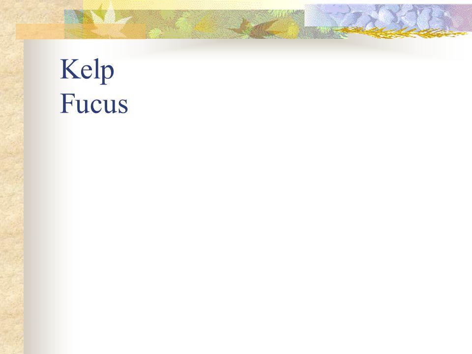Kelp Fucus