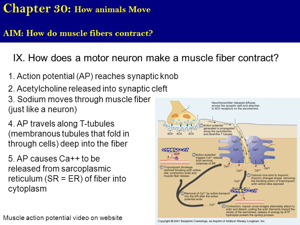 Chapter 30: How animals Move AIM: How do muscle fibers contract.