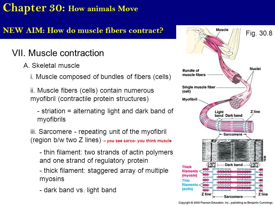 Chapter 30: How animals Move NEW AIM: How do muscle fibers contract.