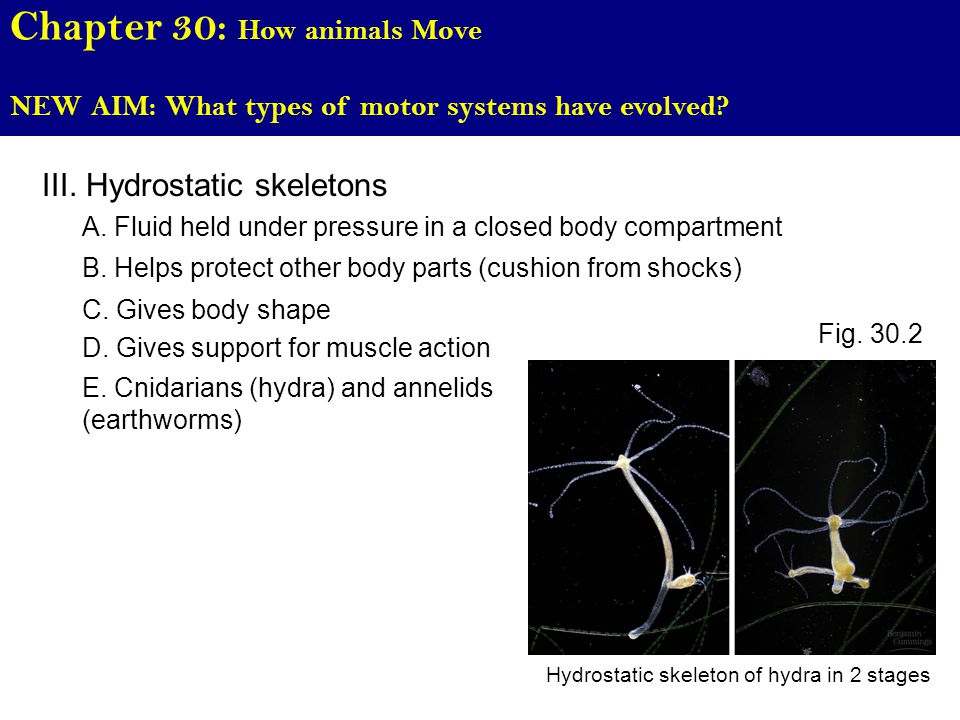 Chapter 30: How animals Move NEW AIM: What types of motor systems have evolved.