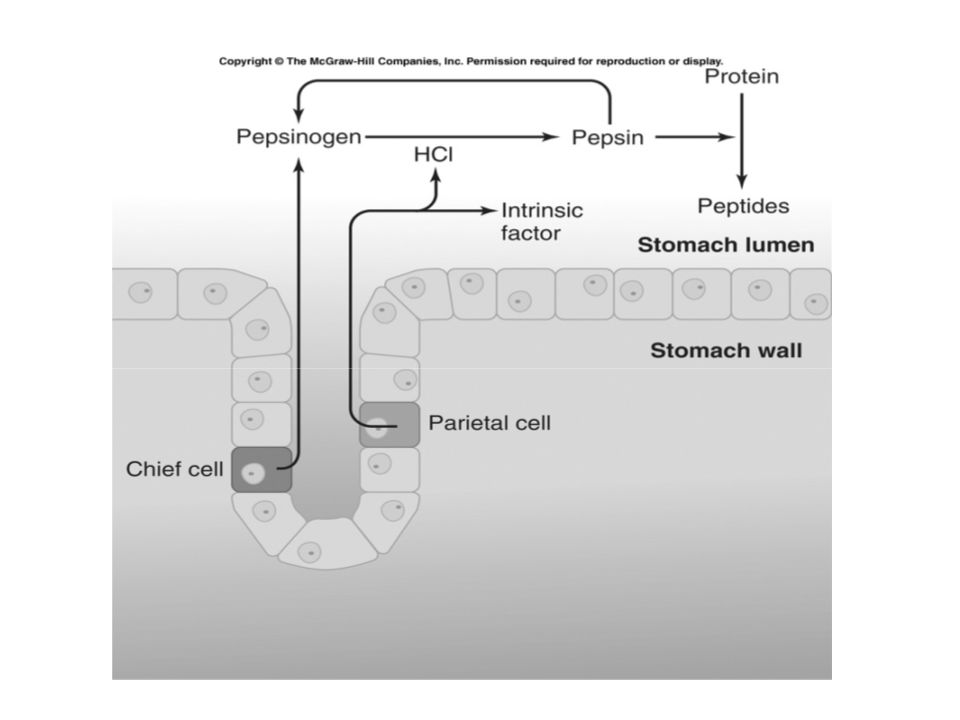 Benefits of acidification of stomach contents: 1.Mechanical breakdown of food 2.