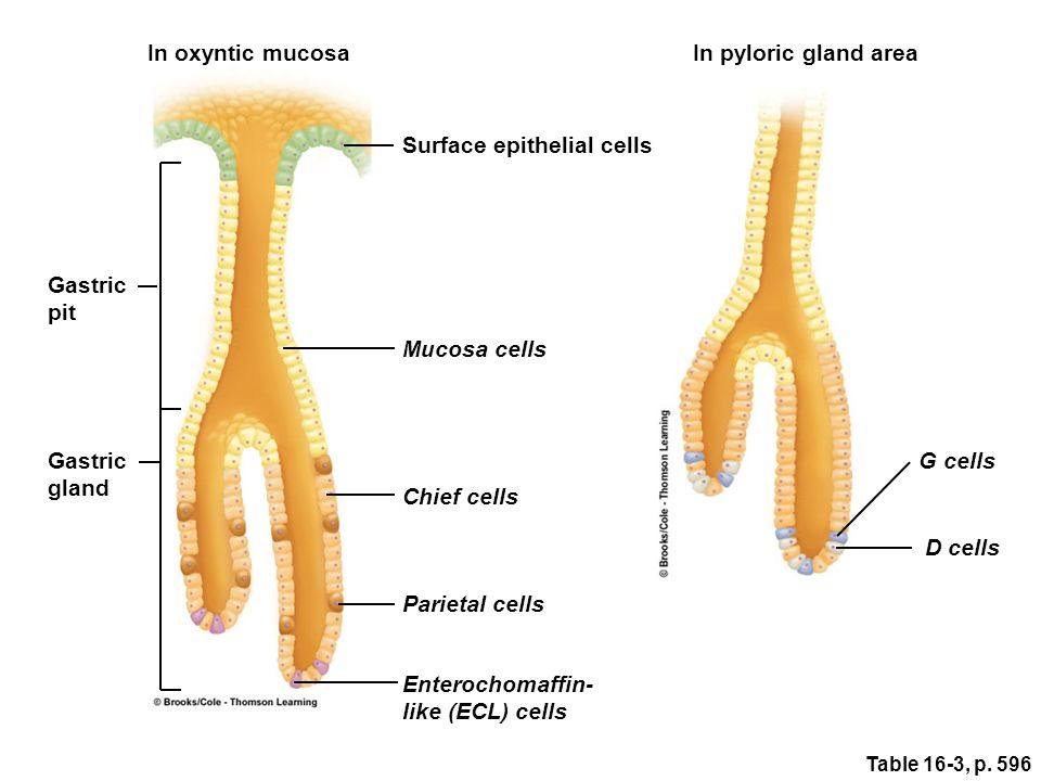 In oxyntic mucosa Gastric pit Gastric gland Surface epithelial cells Mucosa cells Chief cells Parietal cells Enterochomaffin- like (ECL) cells In pylo