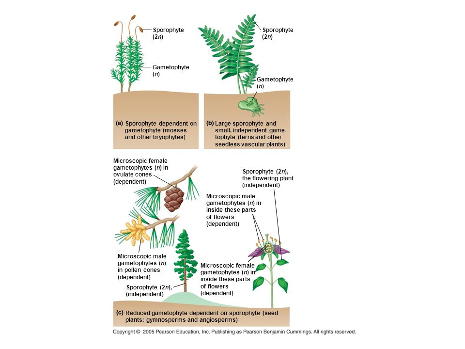A Closer Look at the Life Cycle of a Pine Key features of the gymnosperm life cycle: – Dominance of the sporophyte generation – Development of seeds from fertilized ovules – The transfer of sperm to ovules by pollen The life cycle of a pine is an example