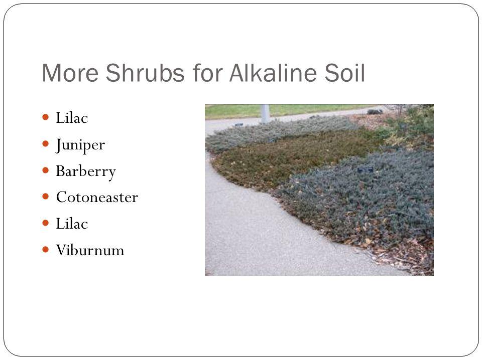 More Shrubs for Alkaline Soil Lilac Juniper Barberry Cotoneaster Lilac Viburnum