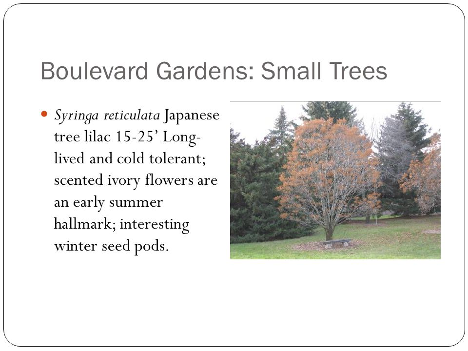 Boulevard Gardens: Small Trees Syringa reticulata Japanese tree lilac 15-25' Long- lived and cold tolerant; scented ivory flowers are an early summer