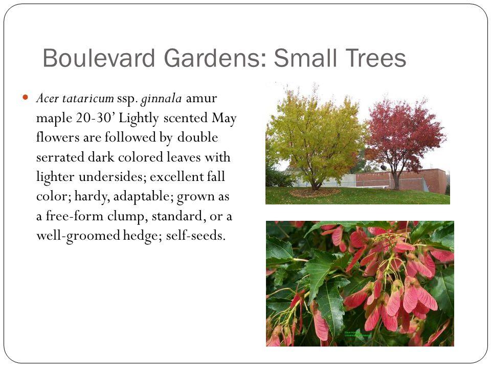 Boulevard Gardens: Small Trees Acer tataricum ssp.