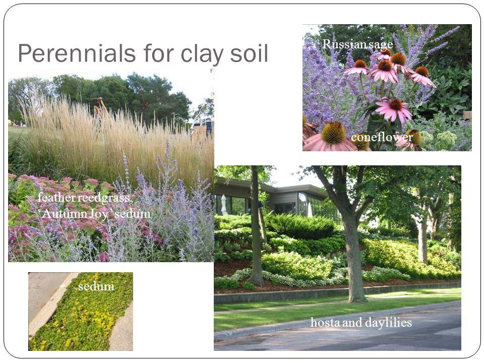 Perennials for clay soil hosta and daylilies sedum Russian sage coneflower feather reedgrass, 'Autumn Joy' sedum