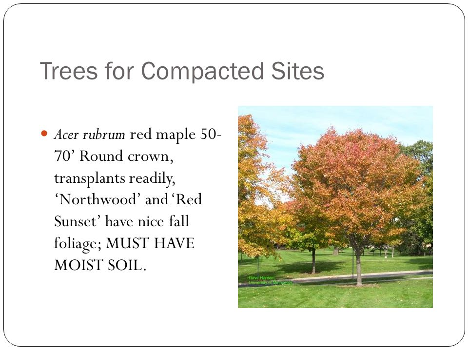Trees for Compacted Sites Acer rubrum red maple 50- 70' Round crown, transplants readily, 'Northwood' and 'Red Sunset' have nice fall foliage; MUST HAVE MOIST SOIL.