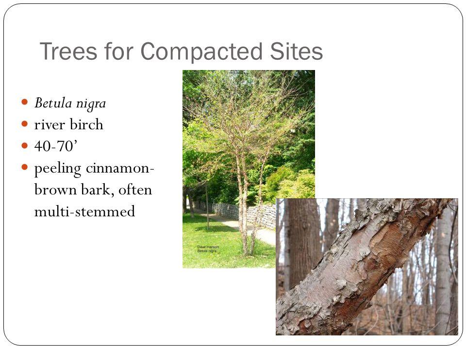 Trees for Compacted Sites Betula nigra river birch 40-70' peeling cinnamon- brown bark, often multi-stemmed