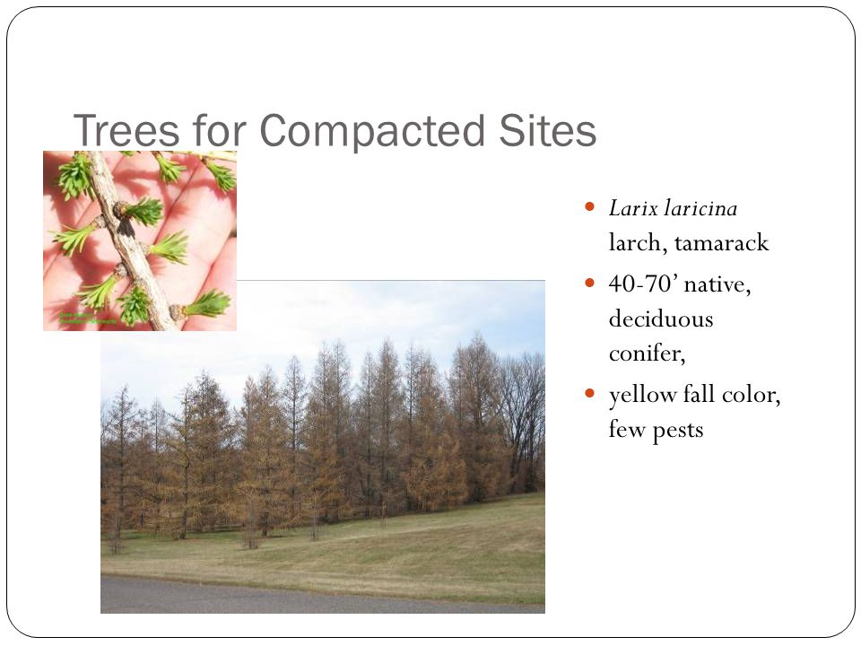 Trees for Compacted Sites Larix laricina larch, tamarack 40-70' native, deciduous conifer, yellow fall color, few pests