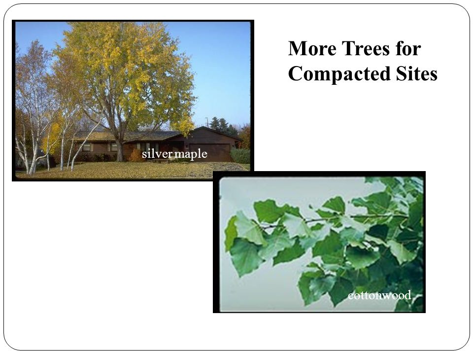 More Trees for Compacted Sites silver maple cottonwood