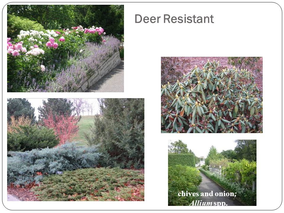 Deer Resistant Plants chives and onion; Allium spp.