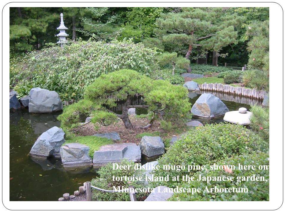 Deer dislike mugo pine, shown here on tortoise island at the Japanese garden, Minnesota Landscape Arboretum